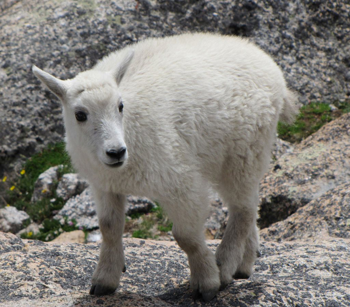A young mountain goat with a full white coat stands among the alpine vegetation and rocks.